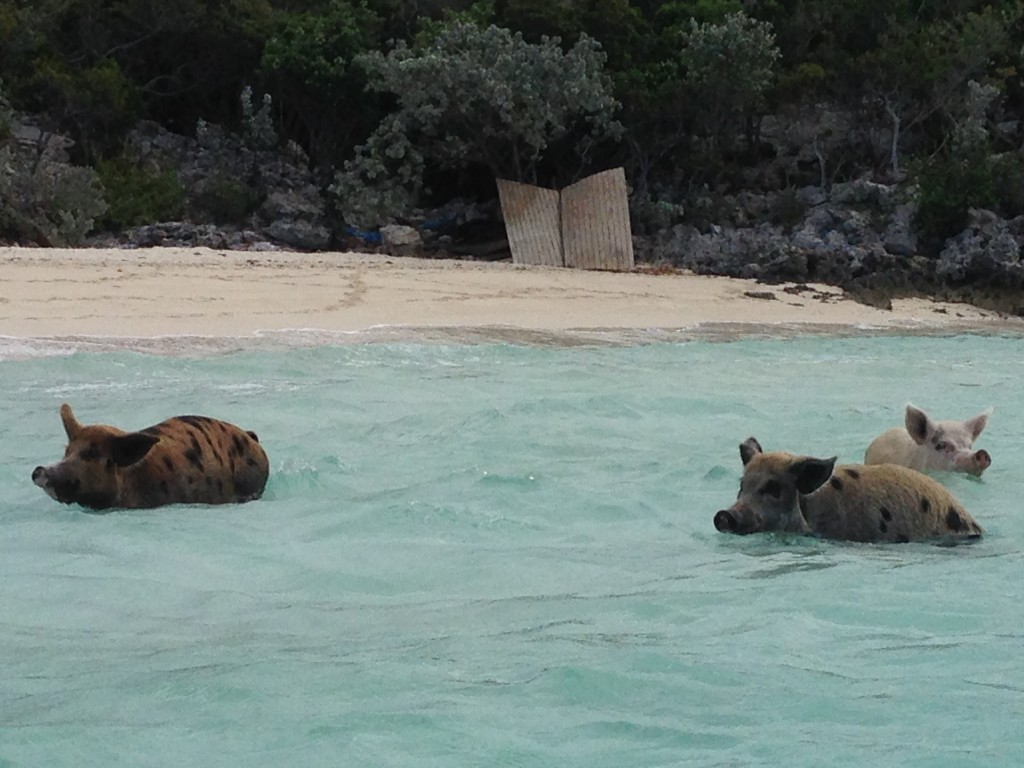 These swimming pigs love leftovers and will propel themselves from shallow water onto your dinghy if you are not careful